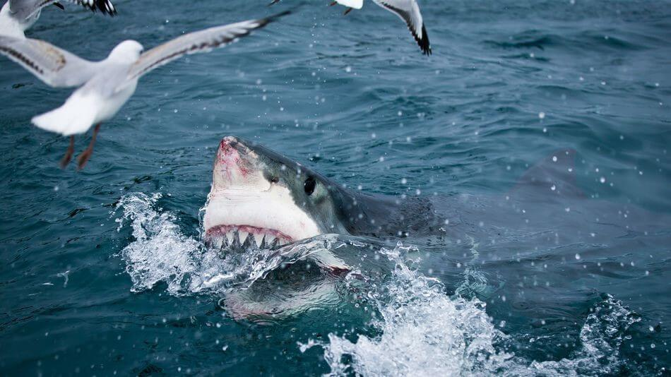 Where have all the Great White Sharks gone?