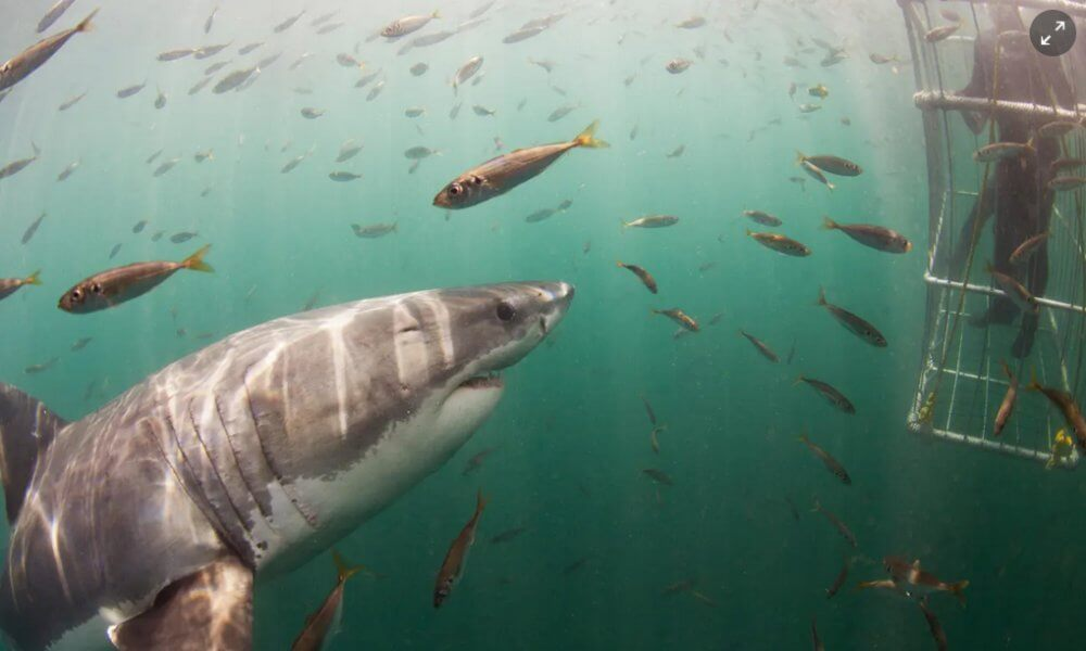 Great white vanishing act: where have South Africa's famous sharks gone?